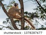 the common brown lemur  eulemur ... | Shutterstock . vector #1378287677
