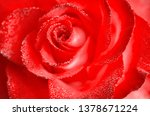 tea and hybrid roses of a grade ... | Shutterstock . vector #1378671224