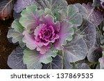 Ornamental Decorative Cabbage