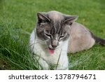 Stock photo funny cat sticking out his tongue 1378794671
