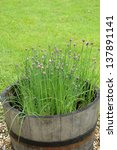 Chives Growing In A Barrel In...