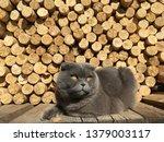 Gray Scottish Fold Cat Lying On ...