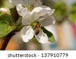 insects on flowers cherry on a... | Shutterstock . vector #137910779