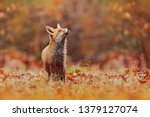 Cute Red Fox  Vulpes Vulpes In...