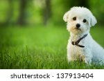 Stock photo cute maltese dog sitting in grass 137913404