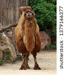 the bactrian camel  camelus... | Shutterstock . vector #1379166377