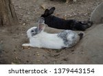 Stock photo a black and white hare lying on the floor beside a black hare a kind of wild rabbit relaxing in 1379443154
