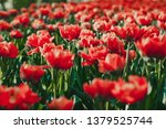 coral red tulip field close up | Shutterstock . vector #1379525744