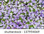 Colorful blue and violet pansy flowers. Nature background. - stock photo