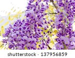 Flowering wisteria closeup. - stock photo