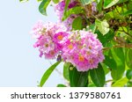 lagerstroemia speciosa at... | Shutterstock . vector #1379580761