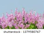 lagerstroemia speciosa at... | Shutterstock . vector #1379580767