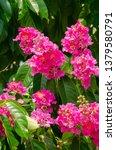 lagerstroemia speciosa at... | Shutterstock . vector #1379580791