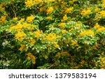 burma padauk or pterocarpus... | Shutterstock . vector #1379583194