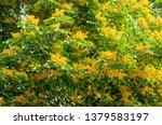 burma padauk or pterocarpus... | Shutterstock . vector #1379583197