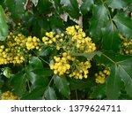 blooming mahogany in spring | Shutterstock . vector #1379624711