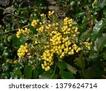 blooming mahogany in spring | Shutterstock . vector #1379624714