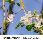 flowering tree in the city... | Shutterstock . vector #1379647361