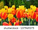 tulips field | Shutterstock . vector #137969375