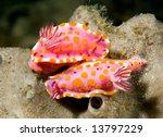 a pair of mating nudibranchs, or sea slugs, underwater - stock photo
