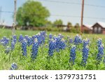Bluebonnet And Indian...