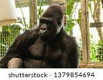 a western lowland gorilla... | Shutterstock . vector #1379854694