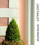 Small photo of Closeup of conical shrub with flowers against a salmon colored stucco wall with white quoin design in Charleston, South Carolina