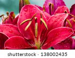 Crimson Colored Daylily Covere...