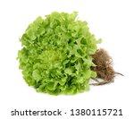 Hydroponic Green Oak Lettuce...