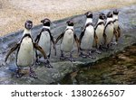 Humboldt Penguin Is A South...
