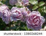 Blooming Mauve Or Mauve Blend...