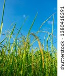 Small photo of Upraise angle view of Paddy rice field in blue sky Background.
