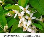 orange tree blossom in the... | Shutterstock . vector #1380636461