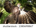Small photo of Captive Philippine Eagle, wings spread