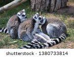 three lemurs in captivity. they ...   Shutterstock . vector #1380733814