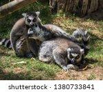 three lemurs in captivity. they ...   Shutterstock . vector #1380733841