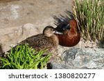 view of pair cinnamon teal wild ... | Shutterstock . vector #1380820277