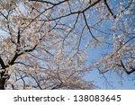 Cherry Blossom Tree In Blue Sk...