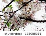 white flower   Shutterstock . vector #138085391