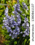 view of blue hyacinthoides... | Shutterstock . vector #1380861137