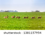 Stock photo kelso scottish borders uk th april brown hares lepus europaeus on arable farmland near 1381157954