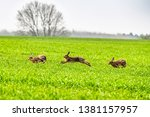 Stock photo kelso scottish borders uk th april brown hares lepus europaeus on arable farmland near 1381157957