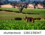 Stock photo roxburgh kelso scottish borders uk th april a european hare also known as the brown 1381158347