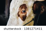 close up of simmental cow  bos...   Shutterstock . vector #1381271411