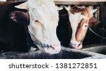 simmental cow  bos taurus ...   Shutterstock . vector #1381272851