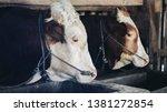 simmental cow  bos taurus ...   Shutterstock . vector #1381272854