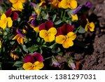 close up of purple yellow viola ... | Shutterstock . vector #1381297031