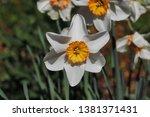 portrait of white orange... | Shutterstock . vector #1381371431