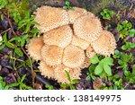 Cluster Of Shaggycap Mushrooms...
