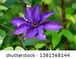 close up of of lilac clematis... | Shutterstock . vector #1381568144